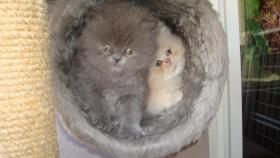 Foto 6 PERSER-CHINCHILA BABYS