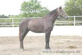 Foto 6 PRE - Pura Raza Espanola - direkt vom Züchter - alle Preisklassen