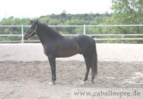 Foto 7 PRE - Pura Raza Espanola - direkt vom Züchter - alle Preisklassen