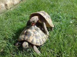 Paarungsbereite griechische Landschildkrötenmännchen