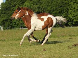 Paint Horse Stütchen 1,5 jahre