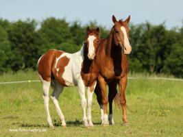 Foto 3 Paint Horse Stütchen 1,5 jahre