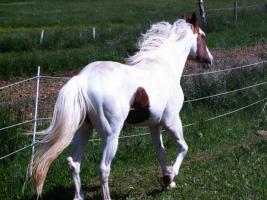 Foto 3 Paint Horse Wallach