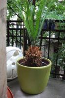 Foto 2 Palme - Cycas revoluta
