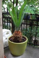 Foto 3 Palme - Cycas revoluta