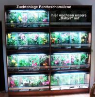 Foto 6 Pantherchamäleons abzugeben