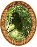Papageien-Amazonen aus eigener Nachzucht-Handaufzucht