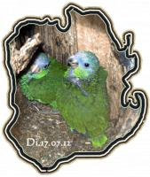Foto 2 Papageien-Amazonen aus eigener Nachzucht-Handaufzucht