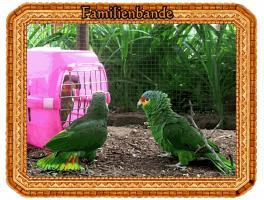 Foto 3 Papageien-Amazonen aus eigener Nachzucht-Handaufzucht