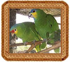 Foto 4 Papageien-Amazonen aus eigener Nachzucht-Handaufzucht