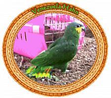 Foto 6 Papageien-Amazonen aus eigener Nachzucht-Handaufzucht