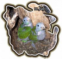 Foto 10 Papageien-Amazonen aus eigener Nachzucht-Handaufzucht