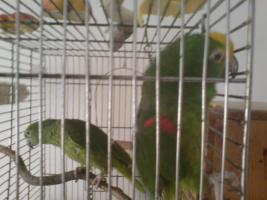 Papageien-Pärchen abzugeben