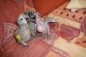 Papageienbabys