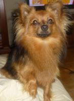 Paperanian(Spitz-Papillon)  In Amerika ein Rassehund , Designer Dog  Deckr�de sucht nette Damen !