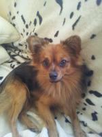 Foto 2 Paperanian(Spitz-Papillon)  In Amerika ein Rassehund , Designer Dog  Deckr�de sucht nette Damen !