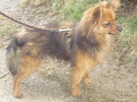 Foto 3 Paperanian(Spitz-Papillon)  In Amerika ein Rassehund , Designer Dog  Deckr�de sucht nette Damen !