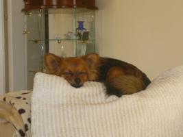 Foto 4 Paperanian(Spitz-Papillon)  In Amerika ein Rassehund , Designer Dog  Deckr�de sucht nette Damen !