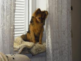 Foto 8 Paperanian(Spitz-Papillon)  In Amerika ein Rassehund , Designer Dog  Deckr�de sucht nette Damen !