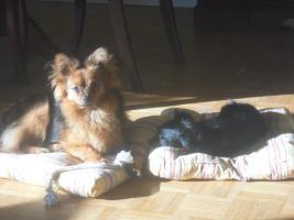Foto 9 Paperanian(Spitz-Papillon)  In Amerika ein Rassehund , Designer Dog  Deckr�de sucht nette Damen !