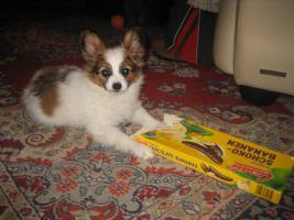 Papillon, R�de, Junghund, 12 Monate alt