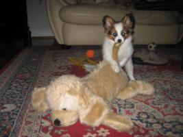 Foto 2 Papillon, Rüde, Junghund, 12 Monate alt