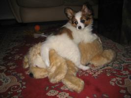 Foto 3 Papillon, R�de, Junghund, 12 Monate alt