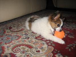 Foto 6 Papillon, R�de, Junghund, 12 Monate alt
