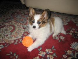 Foto 7 Papillon, R�de, Junghund, 12 Monate alt