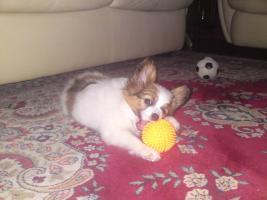 Foto 9 Papillon, Rüde, Junghund, 12 Monate alt