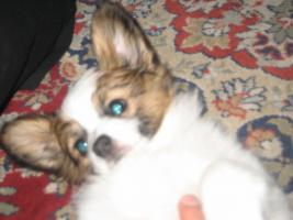 Foto 11 Papillon, Rüde, Junghund, 12 Monate alt