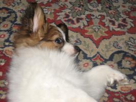 Foto 12 Papillon, R�de, Junghund, 12 Monate alt