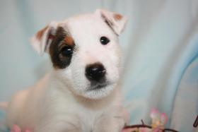 Foto 3 Parson JAck Russell Terrier Welpen
