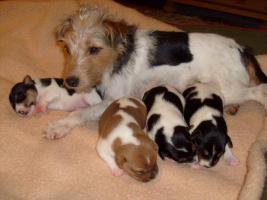 Parson Jack Russel Terrier Welpen