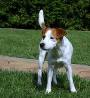 Foto 4 Parson Jack Russell Terrier