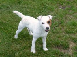 Foto 5 Parson Jack Russell Terrier