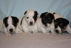 Parson Jack Russell Terrier Welpen