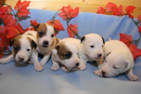 Foto 5 Parson Jack Russell Terrier Welpen