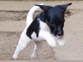 Foto 4 Parson Jack Russell Terrier Welpen