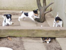 Foto 7 Parson Jack Russell Terrier Welpen