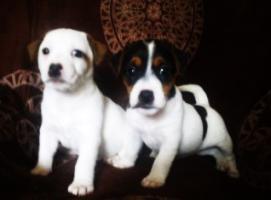Foto 2 Parson Jack Russell Terrier Welpen