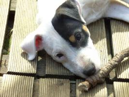 Foto 2 Parson Russell Terrier