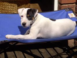 Foto 5 Parson Russell Terrier