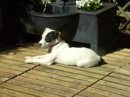 Foto 9 Parson Russell Terrier