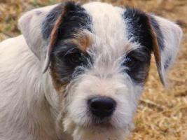 Foto 2 Parson Russell Terrier Welpe