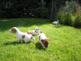 Parson Russell Terrier Welpen