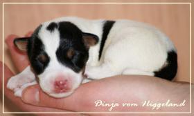 Foto 2 Parson Russell Terrier Welpen  Zucht vom Niggeland in NRW/GT