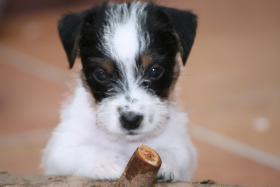 Foto 8 Parson Russell Terrier Welpen  Zucht vom Niggeland in NRW/GT