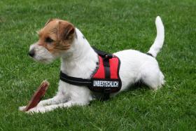 Parson Russell Terrier Zucht von Morrien/Welpen/NRW/Münsterland