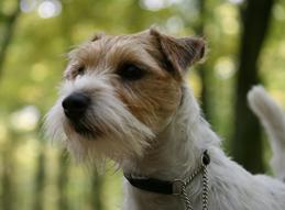 Foto 2 Parson Russell Terrier Zucht von Morrien/Welpen/NRW/Münsterland